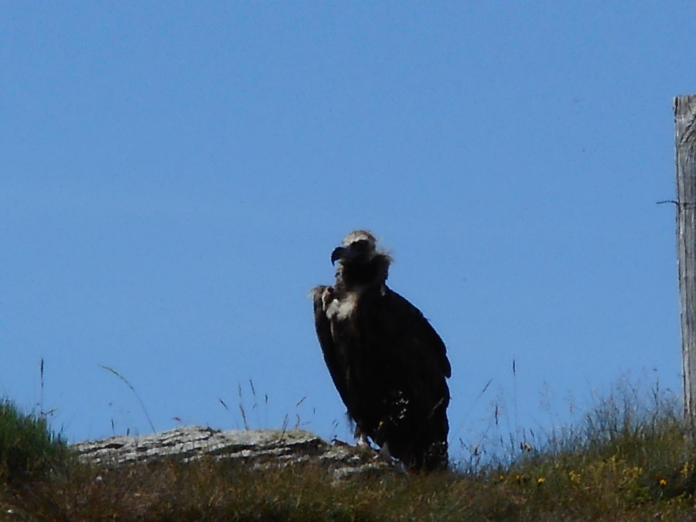 vautour-Victor